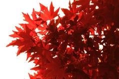 κόκκινο φύλλων Στοκ εικόνες με δικαίωμα ελεύθερης χρήσης