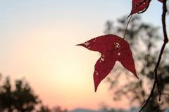 Κόκκινο φύλλο κάτω από το ηλιοβασίλεμα στοκ εικόνες