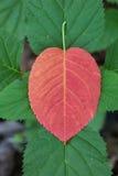 Κόκκινο φύλλο στο πράσινο φυτό Στοκ φωτογραφία με δικαίωμα ελεύθερης χρήσης