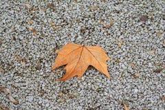 Κόκκινο φύλλο σφενδάμου στην πάροδο από το αμμοχάλικο στοκ εικόνες