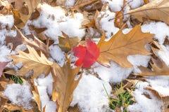Κόκκινο φύλλο σφενδάμου στη μέση των δρύινων φύλλων φθινοπώρου σε ένα χιονώδες έδαφος Στοκ Φωτογραφία