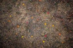 Κόκκινο φύλλο σφενδάμου στο έδαφος Στοκ Φωτογραφίες