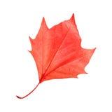 Κόκκινο φύλλο σφενδάμου Στοκ Φωτογραφίες