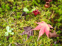 Κόκκινο φύλλο σφενδάμου greensward Στοκ εικόνες με δικαίωμα ελεύθερης χρήσης