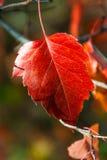 Κόκκινο φύλλο φθινοπώρου σορβιών Στοκ εικόνα με δικαίωμα ελεύθερης χρήσης