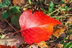 Κόκκινο φύλλο φθινοπώρου σορβιών Στοκ Εικόνες