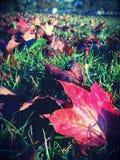 Κόκκινο φύλλο φθινοπώρου στη χλόη Στοκ εικόνα με δικαίωμα ελεύθερης χρήσης