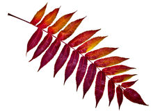 Κόκκινο φύλλο φθινοπώρου στο άσπρο υπόβαθρο Με το ψαλίδισμα του μονοπατιού Στοκ Εικόνες