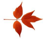 Κόκκινο φύλλο φθινοπώρου Στοκ Φωτογραφίες