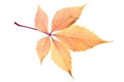 Κόκκινο φύλλο Στοκ φωτογραφία με δικαίωμα ελεύθερης χρήσης