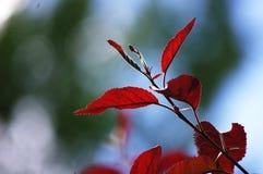 Κόκκινο φύλλο Στοκ Εικόνες