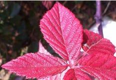 Κόκκινο φύλλο Στοκ Εικόνα