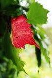 Κόκκινο φύλλο Στοκ φωτογραφίες με δικαίωμα ελεύθερης χρήσης