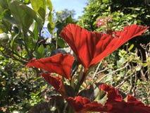 Κόκκινο φύλλο Στοκ Φωτογραφίες