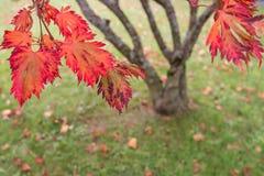 Κόκκινο φύλλωμα ενός ιαπωνικού δέντρου σφενδάμνου (palmatum Acer) Στοκ φωτογραφίες με δικαίωμα ελεύθερης χρήσης