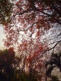 κόκκινο φύλλων Στοκ Φωτογραφία