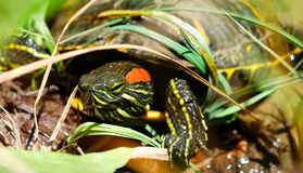 Κόκκινο χελωνών ολισθαινόντων ρυθμιστών αυτιών στο παχνί του Στοκ φωτογραφίες με δικαίωμα ελεύθερης χρήσης