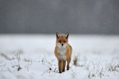 κόκκινο χιόνι αλεπούδων στοκ φωτογραφίες με δικαίωμα ελεύθερης χρήσης