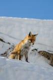 κόκκινο χιόνι αλεπούδων Στοκ εικόνα με δικαίωμα ελεύθερης χρήσης