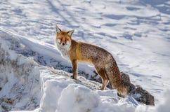 κόκκινο χιόνι αλεπούδων Στοκ Φωτογραφία