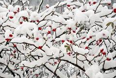 κόκκινο χιόνι μούρων dogrose Στοκ Εικόνες