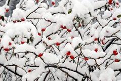 κόκκινο χιόνι μούρων dogrose Στοκ Εικόνα