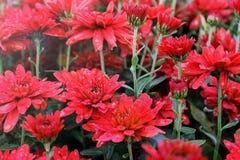 Κόκκινο χρυσάνθεμο στον κήπο στοκ εικόνες με δικαίωμα ελεύθερης χρήσης