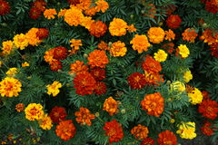 Κόκκινο χρυσό marigold λουλούδι Στοκ Φωτογραφία