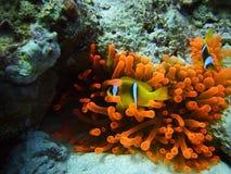 κόκκινο ψαριών κλόουν anemone Στοκ φωτογραφία με δικαίωμα ελεύθερης χρήσης