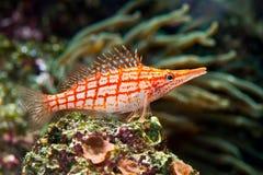 κόκκινο ψαριών που γδύνετ&al Στοκ φωτογραφία με δικαίωμα ελεύθερης χρήσης