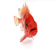 κόκκινο ψαριών Στοκ Φωτογραφία