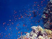 κόκκινο ψαριών Στοκ φωτογραφία με δικαίωμα ελεύθερης χρήσης