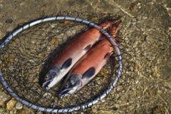 κόκκινο ψαριών Στοκ εικόνες με δικαίωμα ελεύθερης χρήσης