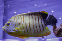 Κόκκινο λωρίδα Angelfish Στοκ Φωτογραφίες
