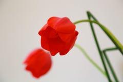 κόκκινο δύο λουλουδιών Στοκ φωτογραφία με δικαίωμα ελεύθερης χρήσης