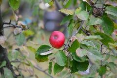 Κόκκινο ώριμο μήλο στο κέντρο Στοκ εικόνες με δικαίωμα ελεύθερης χρήσης