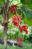 Κόκκινο ώριμο areca betel του φοίνικα Στοκ Εικόνες