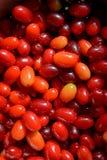 Κόκκινο ώριμο dogwood μούρων Στοκ φωτογραφίες με δικαίωμα ελεύθερης χρήσης