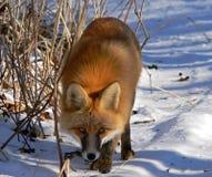 κόκκινο 12 αλεπούδων Στοκ φωτογραφίες με δικαίωμα ελεύθερης χρήσης