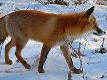 κόκκινο 16 αλεπούδων Στοκ φωτογραφία με δικαίωμα ελεύθερης χρήσης
