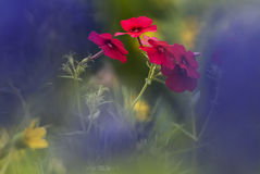 κόκκινο 16 phlox Στοκ εικόνες με δικαίωμα ελεύθερης χρήσης