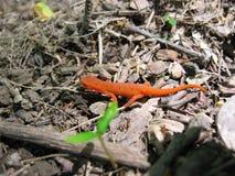 κόκκινο 2 newt που επισημαίνεται Στοκ Εικόνες