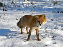 κόκκινο 7 αλεπούδων Στοκ Εικόνα
