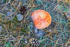 Κόκκινο Amanita Muscaria, μύγα Ageric, Amanita μανιταριών μυγών Στοκ φωτογραφία με δικαίωμα ελεύθερης χρήσης