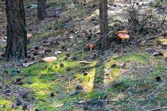 Κόκκινο Amanita Muscaria, μύγα Ageric, Amanita μανιταριών μυγών Στοκ Φωτογραφίες