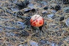 Κόκκινο Amanita Muscaria, μύγα Ageric, Amanita μανιταριών μυγών Στοκ Φωτογραφία