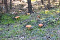 Κόκκινο Amanita Muscaria, μύγα Ageric, Amanita μανιταριών μυγών Στοκ εικόνες με δικαίωμα ελεύθερης χρήσης
