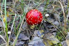 Κόκκινο Amanita Muscaria, μύγα Ageric, Amanita μανιταριών μυγών Στοκ Εικόνες