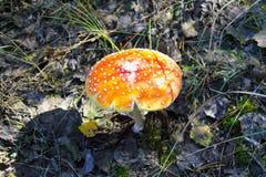 Κόκκινο Amanita Muscaria, μύγα Ageric, Amanita μανιταριών μυγών Στοκ Εικόνα