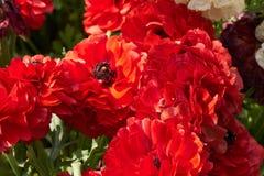 Κόκκινο anemone στον κήπο Στοκ φωτογραφίες με δικαίωμα ελεύθερης χρήσης